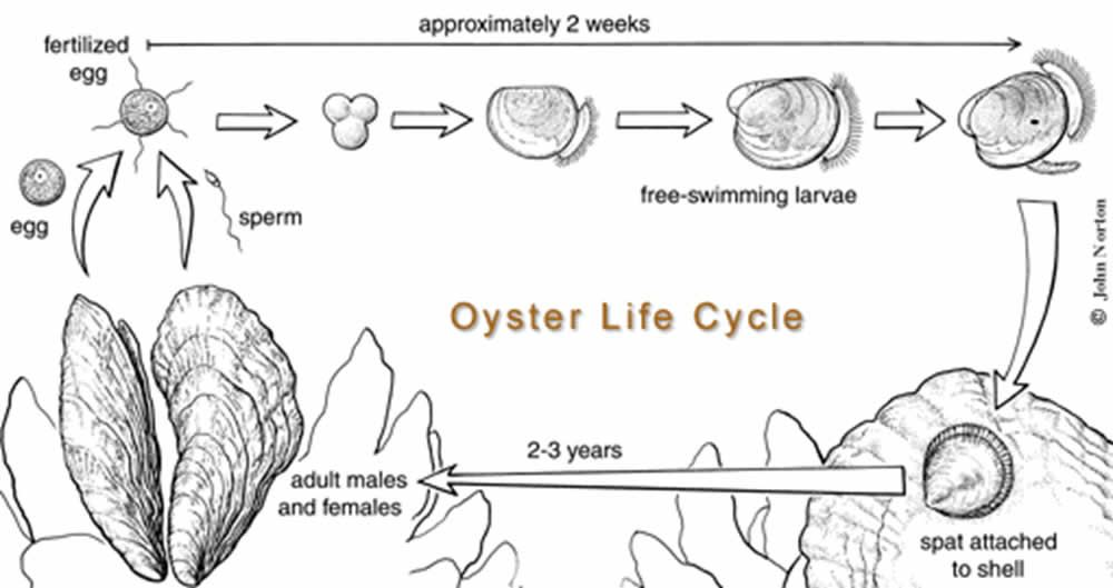 Oyster Life Cycle